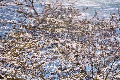 """""""Sakura on Sakura"""" #16, 2018"""